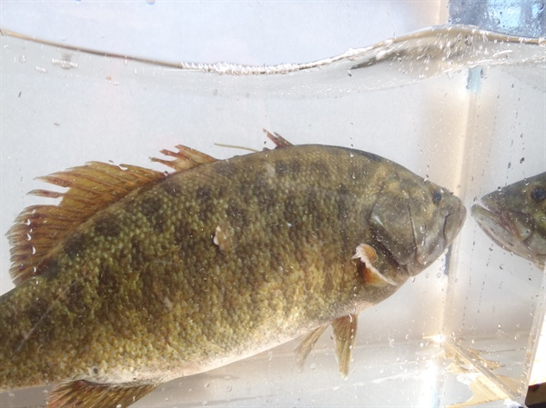 Minimizing Impacts of Fishing Tournaments on Black Bass