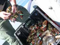 Sea Grant announces $2 million in support of 2020 American Lobster Initiative projects