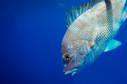 Sea Grant Facilitates External Research to Determine Abundance of Red Snapper