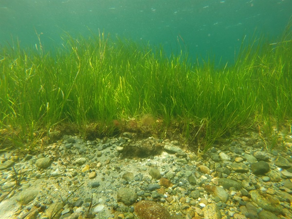 Green Eelgrass, Blue Carbon