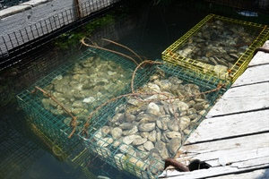 Oysters grown in Maine