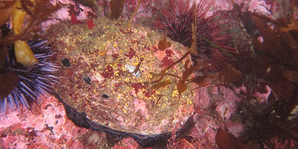 California Sea Grant-funded research finds warmer waters threaten red abalone recovery