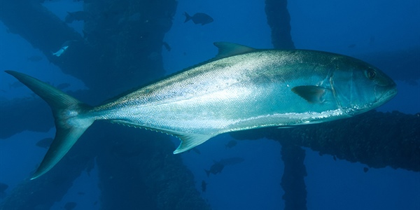 Mississippi-Alabama Sea Grant announces greater amberjack funding opportunity for Gulf of Mexico,...