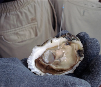 Researchers Develop New Genetic Testing Tool to Evaluate Success of Oyster Restoration